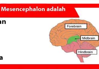Mesencephalon-adalah-Pengertian-Struktur-Penggunaan-Cara-Kerja